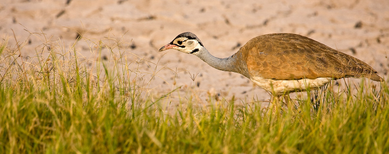 White-bellied Bustard.<br /> <br /> Location: Amboseli National Park, Kenya<br /> <br /> Lens used: Canon 100-400mm f4.5-5.6 IS