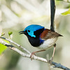 Variegated Fairywren (Malurus lamberti), Tallebudgeraba Creek, Burleigh Heads, Queensland.