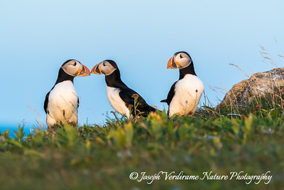 Puffins touching bills (1)