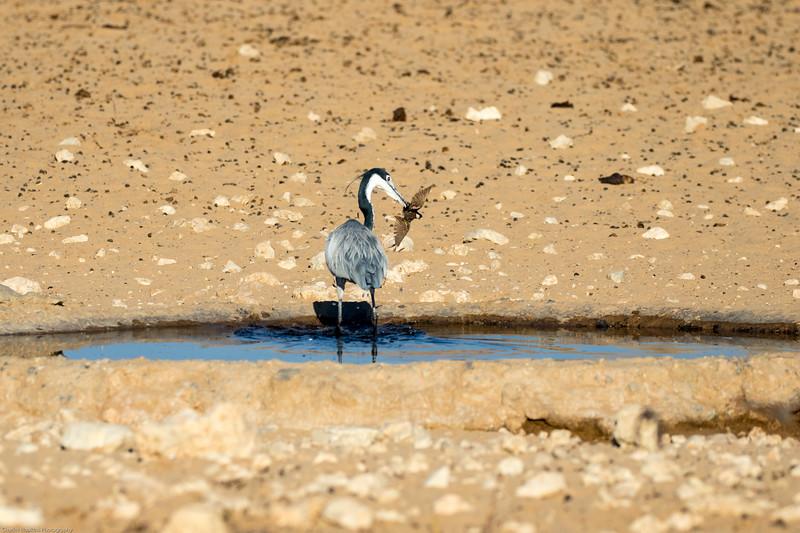 Grey Heron hunting