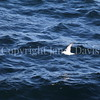Fulmarus glacialis - Northern fulmar 13