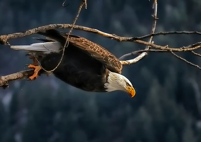 Eagle Take Off