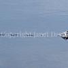 Fulmarus glacialis - Northern fulmar 8