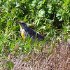 Meadowlark In The Grass