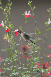 Archilochus colubris – Ruby throated hummingbird on Salvia 'Hot Lips' 2