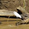 Egretta thula – Snowy egret