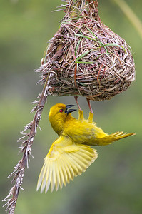 A Golden Weaver works on constructing its nest. East Cape, South Africa, December, 2011.