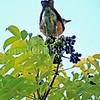 Turdus migratorius – American robin 9