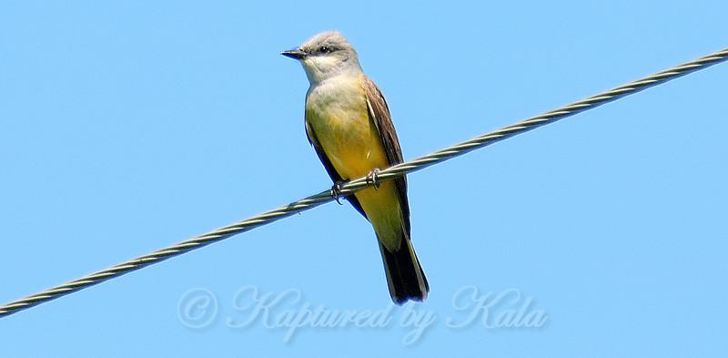 Western Kingbird on the Wire
