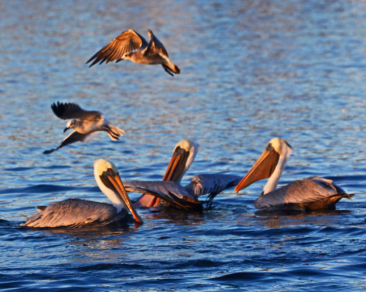 Golden Hour Laughing Gulls and Brown Pelicans.