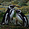 Magellanic Penguins    Falklands