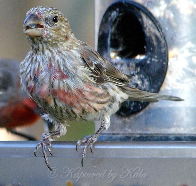Juvenile Male House Finch View 1