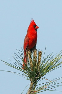 Cardinal in South Carolina