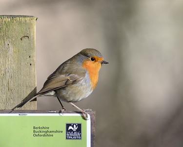 BBOWT Robin