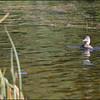 Female Ring-necked Duck ~ Aythya collaris