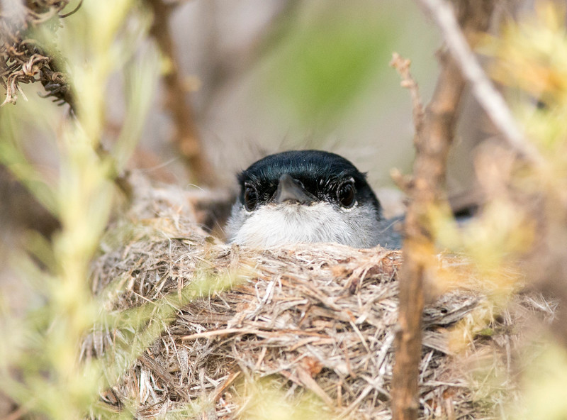 Dad California Gnatcatcher sitting on the eggs.