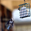 Come on Up, the Suet's Fine
