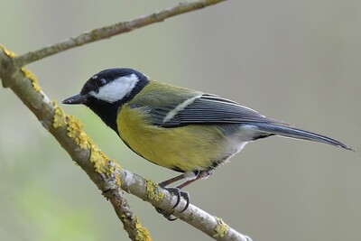 A Great Tit at Pinkhill Reserve 30-03-2017