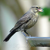 Baby Cowbird Finally Feeds Itself View 1