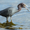 Little Blue Heron having breakfast
