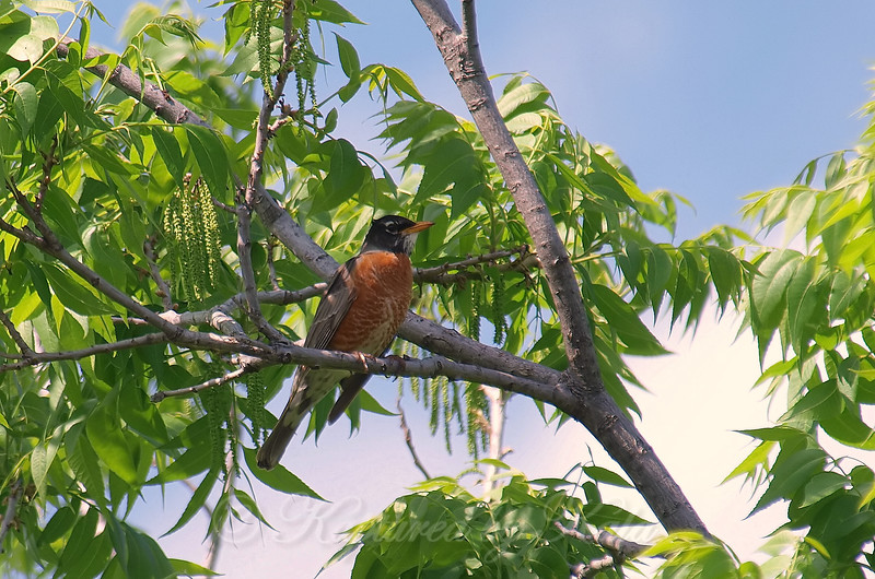 Got A Robin In My Pecan Tree
