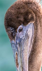 Brown pelican portrait