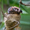 Rufous Fantail, nestling_9605