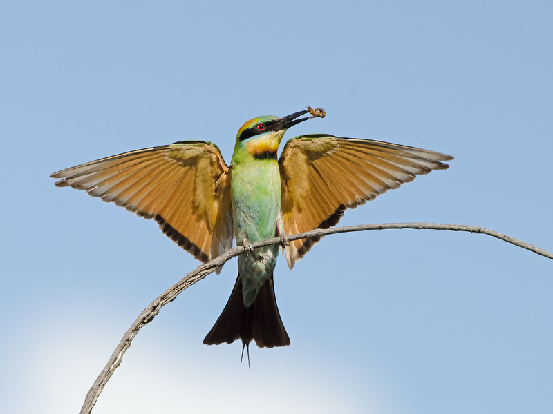 Rainbow Bee-eater Landing with a Bee, Federation Walk, Gold Coast, Queensland.