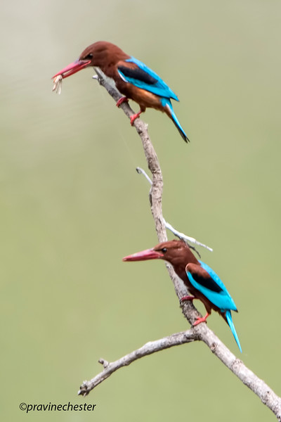 Kingfishers at rest