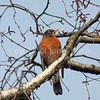 Turdus migratorius – American robin 4
