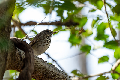 Hermit Thrush at Fred Crabtree Park