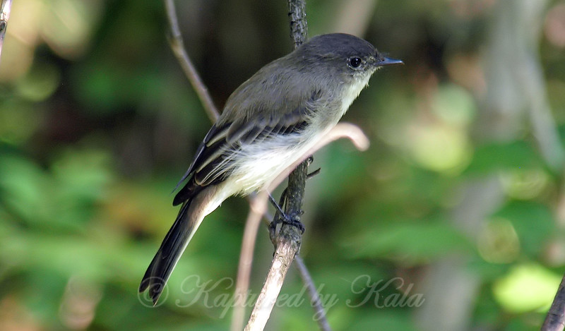 One Of The Friendly Phoebes Of White Rock Lake