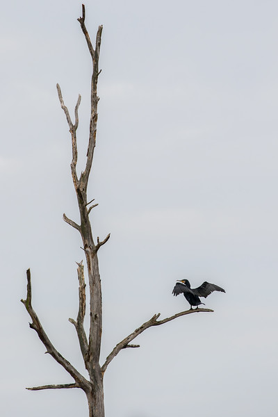 Great cormorant / Phalacrocorax carbo / Aalscholver