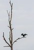 Great cormorant / Phalacrocorax carbo / Aalscholver