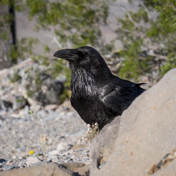Proud Raven