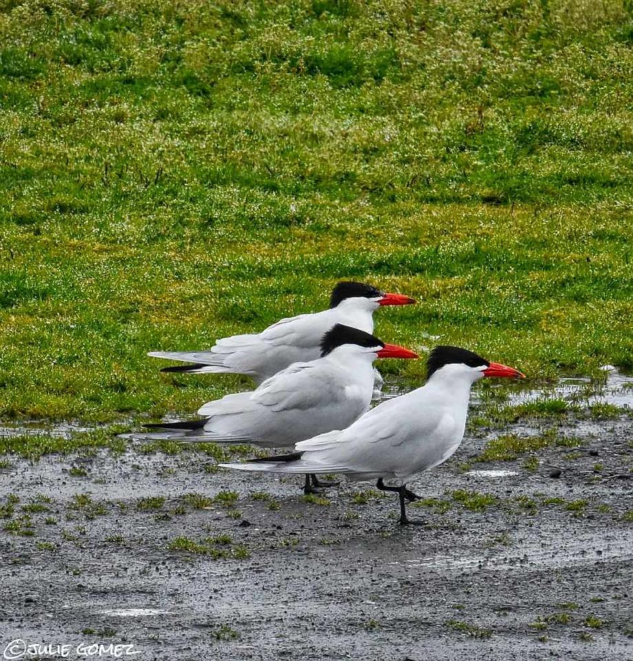 Caspian Terns—Hydroprogne caspia