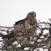 Aquila rapax – Tawny eagle 1