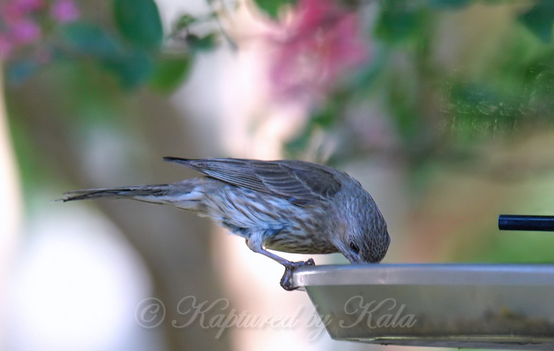Mama House Finch Getting A Snack