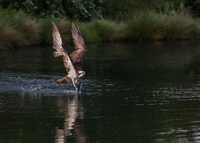 Osprey, Rutland