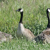 Canadian Geese keeping a watchful over their goslings.