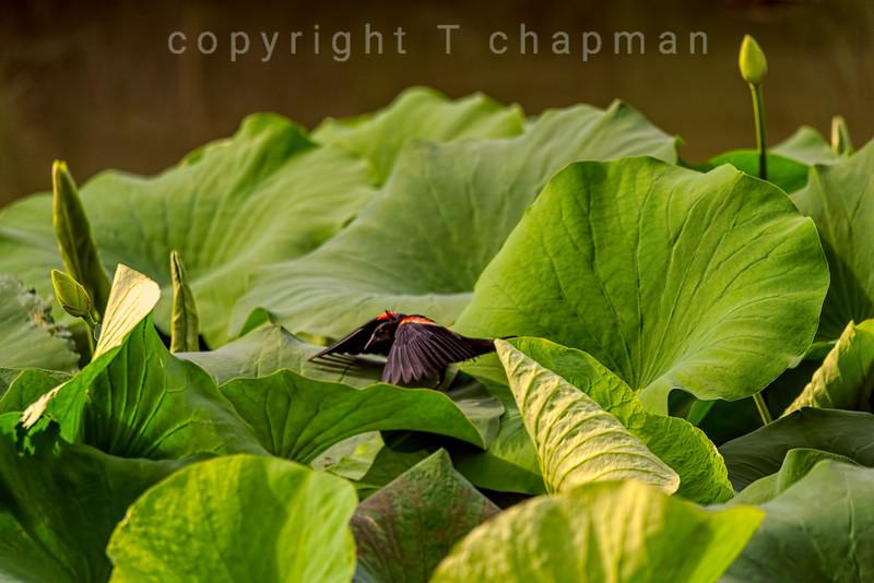 Shrouded Blackbird