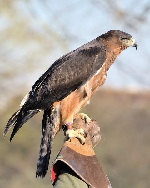 African Hawk Eagle - Northcroft Park Newbury 21st Jan 2017 5
