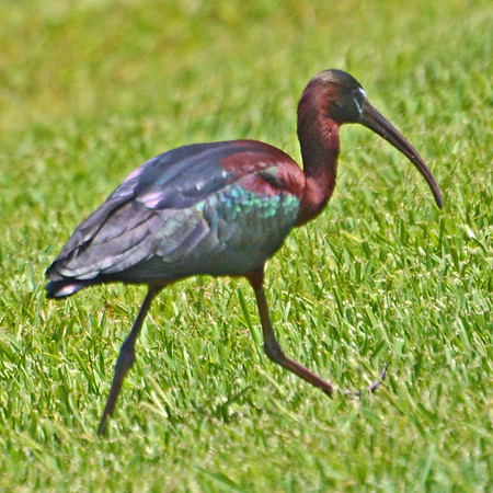 Colorful White-faced Ibis a rare visitor to Florida.