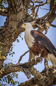 African Fish Eagle Near Nest