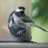 Molting Chickadee View 1