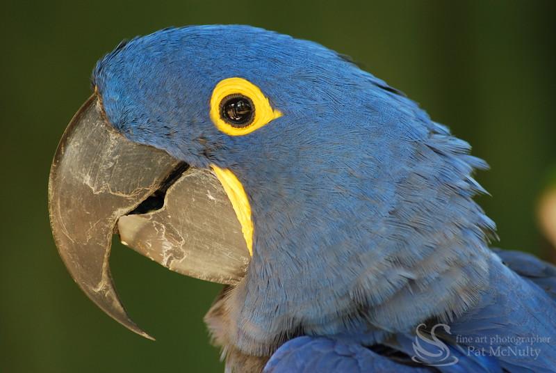 Hyacinth Macau Parrot Bird Photo