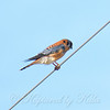 Mr. Kestrel On A Wire
