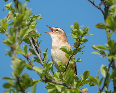 Sedge Warbler at Otmoor 6th May 2018 2