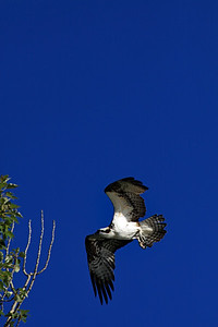 Osprey in flight 3.