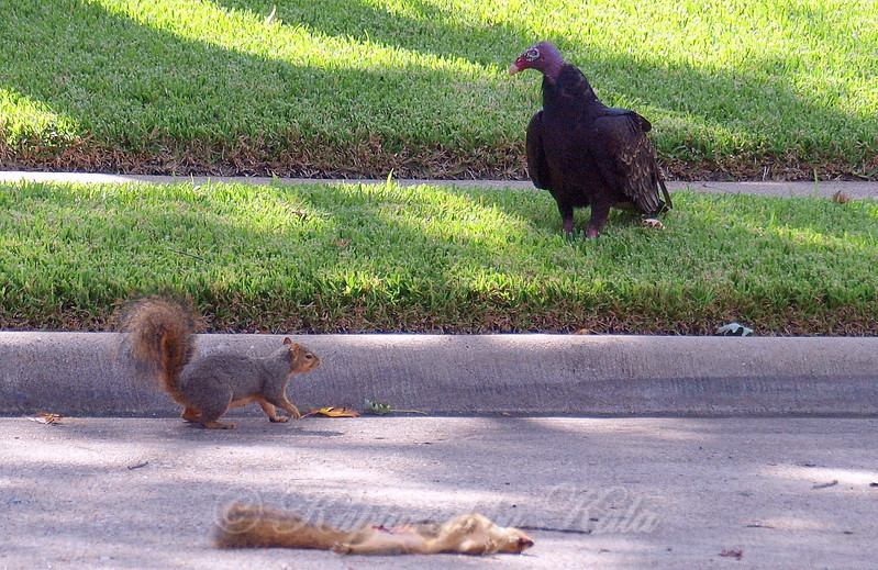 Squirrel Is Too Close For The Vulture's Comfort Level
